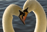 A Pair of Mute Swans, Cygnus Olor, Engage in a Courtship Display Impressão fotográfica por Paul Colangelo