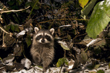 A Common Raccoon, Procyon Lotor, in a Forest Photographic Print by Paul Colangelo