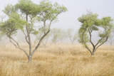 Fog Drifts Among Olive Trees in a Grassy Field Photographic Print by Paul Colangelo