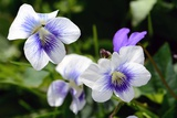 A Cluster of Wild Violets on a Spring Day Photographic Print by Darlyne A. Murawski