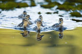 Mallard Ducklings, Anas Platyrhynchos, in the Water Photographic Print by Paul Colangelo