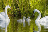 Two Mute Swans, Cygnus Olor, Look over their Two Cygnets Impressão fotográfica por Paul Colangelo
