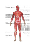 Muscular System in Male Anatomy Posters by Gwen Shockey