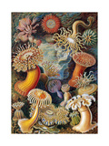 Sea Anemones Giclee Print by  Science Source