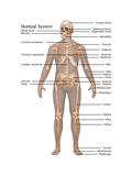 Skeletal System in Male Anatomy Art by Gwen Shockey