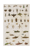 Insects, Seba's Thesaurus, 1734 Giclee Print by  Science Source