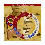 Malaria Parasite Life Cycle Prints by  Science Source