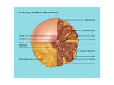 Breast Anatomy, Illustration Prints by Gwen Shockey
