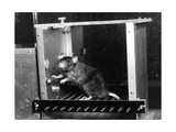 Rat in Skinner box Photographic Print by  Science Source