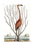Flamingo with Keratophyton Plant, 1731 Giclee Print by  Science Source