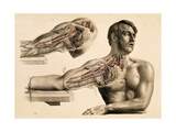 Muscles and Blood Vessels in Arm, 1851 Giclee Print by  Science Source
