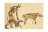 Skeletons of Man, Dog, Wild Boar, 1860 Giclee Print by  Science Source