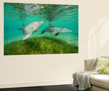 Bottlenose Dolphins Swim at the Roatan Institute for Marine Science, Roatan, Honduras Wall Mural by Brian J. Skerry