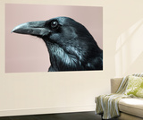 Close Up Portrait of a Common Raven, Corvus Corax Vægplakat af Marc Moritsch
