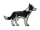 Border Collie Poster by Sally Pattrick
