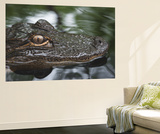 A Young Alligator Finds Refuge Among the Still Waters of the Upper Suwannee River Wall Mural by Carlton Ward