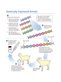 Genetically Engineered Animals Prints by  Science Source