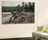 Large Driftwood Tree on the Warren Lake Beach, in Cape Breton Highlands National Park Vægplakat af Darlyne A. Murawski