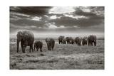Amboseli Elephants Prints by Jorge Llovet