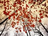 Ramas desnudas y hojas rojas de arce junto a la autopista Láminas por Raymond Egehman