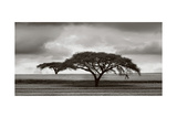 Acacia Trees Posters by Jorge Llovet