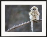 Cyril Ruoso - A Golden Snub-Nosed Monkey Infant Perches in a Highland Forest Zarámovaná reprodukce fotografie