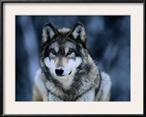Gray Wolf at the International Wolf Center Near Ely Framed Photographic Print by Joel Sartore