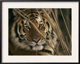 A Captive Tiger Shows a Formidable Expression Framed Photographic Print by Roy Toft