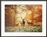 4 cerfs rouges (Cervus Elaphus) dans une forêt en automne  Photographie encadrée par Alex Saberi