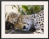 Cheetah (Acinonyx Jubatus) Mother and Seven Day Old Cub, Maasai Mara Reserve, Kenya Framed Photographic Print by Suzi Eszterhas/Minden Pictures