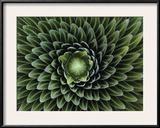 A Giant Lobelia Plant, Lobelia Telekii Framed Photographic Print by George F. Mobley