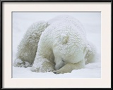 Polar Bear (Ursus Maritimus) Sleeping, Hudson Bay, Canada Framed Photographic Print by Konrad Wothe