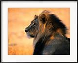 Ausgewachsener afrikanischer Löwe Gerahmter Fotografie-Druck von Nicole Duplaix