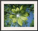Sunlight Filters Through the Leaves of an Umbrella Tree Framed Photographic Print by Raymond Gehman