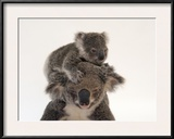 A Federally Threatened Koala Climbs on Top of its Mother, Who Has Conjunctivitis Framed Photographic Print by Joel Sartore