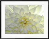 Close Up of a White Dahlia Flower Photographie encadrée par Raul Touzon
