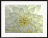 Raul Touzon - Close Up of a White Dahlia Flower Zarámovaná reprodukce fotografie