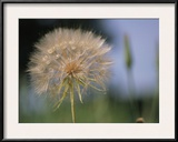 A Close View of a Dandelion Seed Head Framed Photographic Print by Heather Perry