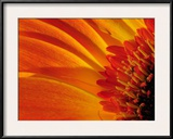 Close Up of a Orange Gerbera Daisy, Gerbera Species Framed Photographic Print by Darlyne A. Murawski