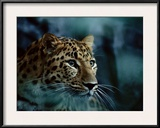 An Amur Leopard at the Minnesota Zoological Gardens Framed Photographic Print by Michael Nichols