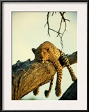 A Leopard Lounges in a Tree Framed Photographic Print by Beverly Joubert