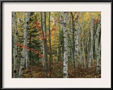 Birch Trees with Autumn Foliage Framed Photographic Print by Medford Taylor