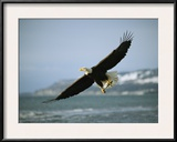 An American Bald Eagle in Flight over Water with a Fish in its Talons Framed Photographic Print by Klaus Nigge