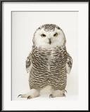 A Female Snowy Owl, Bubo Scandiacus, at Raptor Recovery Nebraska Gerahmter Fotografie-Druck von Joel Sartore
