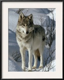 A Lone Female Gray Wolf Watching Framed Photographic Print by Jim And Jamie Dutcher
