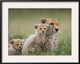 Cheetah (Acinonyx Jubatus) Mother and Eight to Nine Week Old Cubs, Maasai Mara Reserve, Kenya Framed Photographic Print by Suzi Eszterhas/Minden Pictures