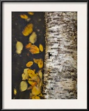 Leaves Float Past a Fallen Birch Framed Photographic Print by Michael Melford