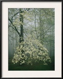 Dogwood Blossoms in a Foggy Forest Framed Photographic Print by Raymond Gehman
