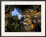 Monarch Butterflies Cover Every Inch of a Tree in Sierra Chincua Framed Photographic Print by Joel Sartore