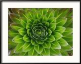 A Giant Lobelia Plant Gerahmter Fotografie-Druck von George F. Mobley